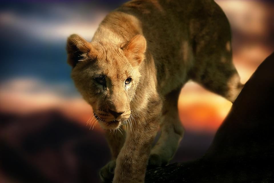 lion-cub-580906_960_720